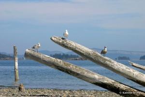 Gulls, Sidney Spit